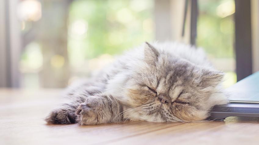 Śpiący kot perski na podłodze, a także charakter kota perskiego i jego opis