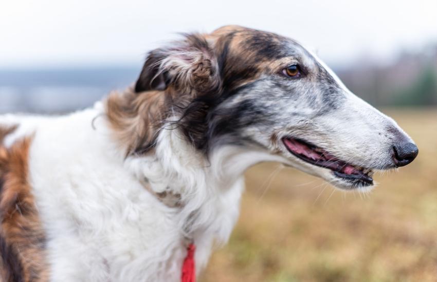 Pies rasy chart rosyjski na łonie natury, a także jego charakter, hodowla i wychowanie