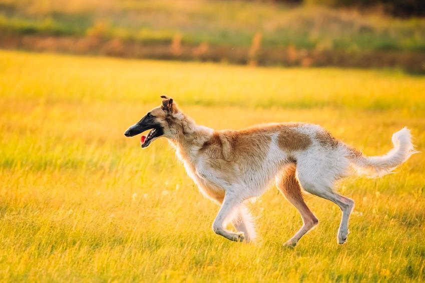 Pies rasy chart rosyjski biegający po trawie oraz jego hodowla w Polsce, cena i opis