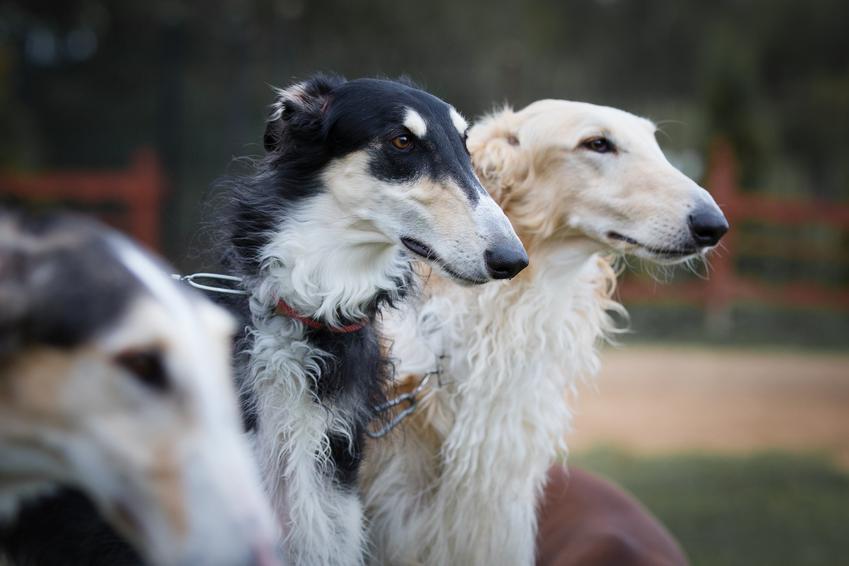 Małe psy rasy borzoj, a także ich charakter i cena za szczenię borzoja z rodowodem