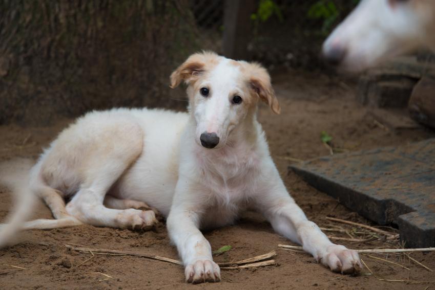 Mały pies rasy borzoj leżący na ziemi, a także szczenię borzoja, szczeniaki i wychowanie