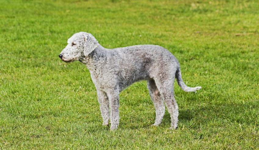 Pies rasy bedlington terrier z profilu na trawniku, a także jego charakter, wychowanie i cena