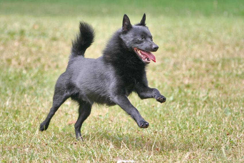 Pies rasy schipperke z profilu na trawniku, a także jego charakter, wychowanie i cena