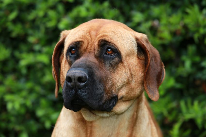 Pies rasy bandog, american bandogge podczas spaceru na tle zieleni, a także jego charakter, usposobienie i hodowla