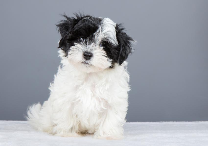 Pies rasy hawańczyk, bichon hawański na szarym tle, a także jego charakter, usposobienie i hodowla