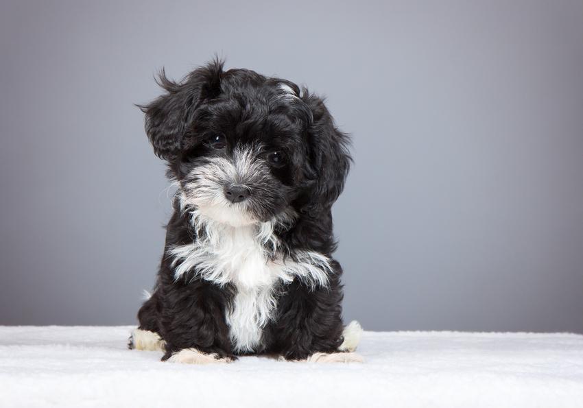 Pies rasy hawańczyk na szarym tle, a także hodowla hawańczyka i cena za szczeniaki