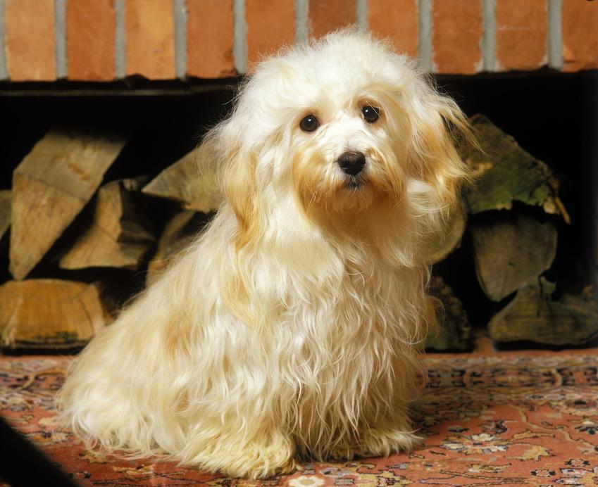 Pies rasy hawaczyk na tle drewna, a także hodowla hawańczyka w Polsce i cena