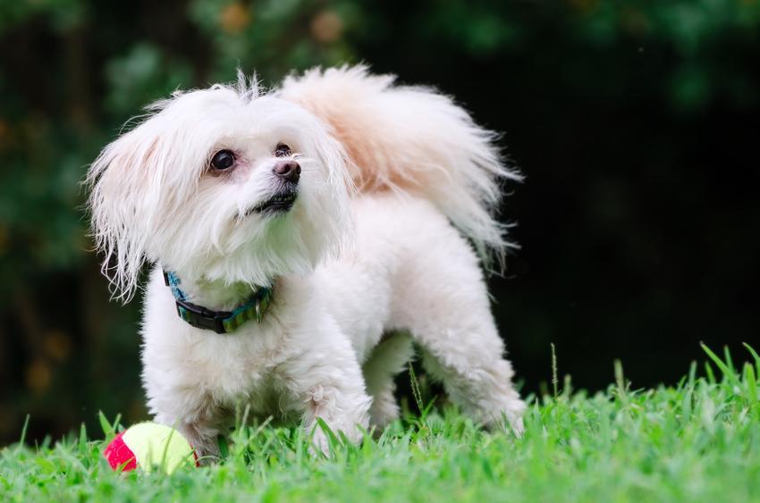 Pies rasy maltipoo spacerujący po trawniku, a także hodowla maltipoo i cena za szczeniaki
