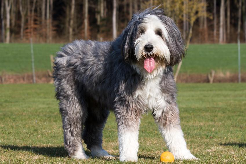 Pies rasy bearded collie z profilu na trawniku, a także jego charakter, wychowanie i cena