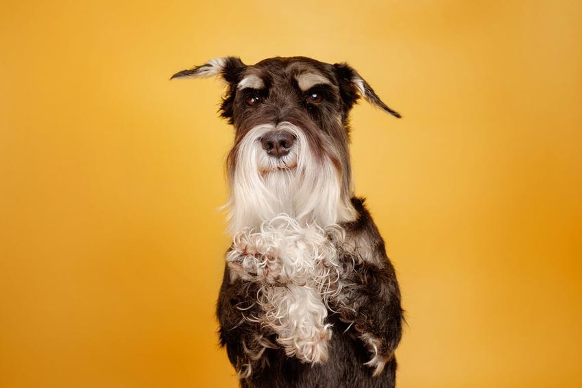 Pies rasy sznaucer na żółtym tle, a także sznaucerki i ich charaket