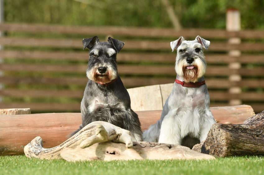 Dwa psy rasy sznaucer na podwórku oraz ich opis i charakter