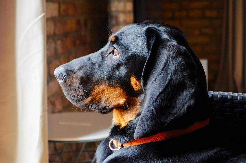 Pies rasy polski pies gończy w domu z profilu, a także jego charakter, usposobienie i hodowla