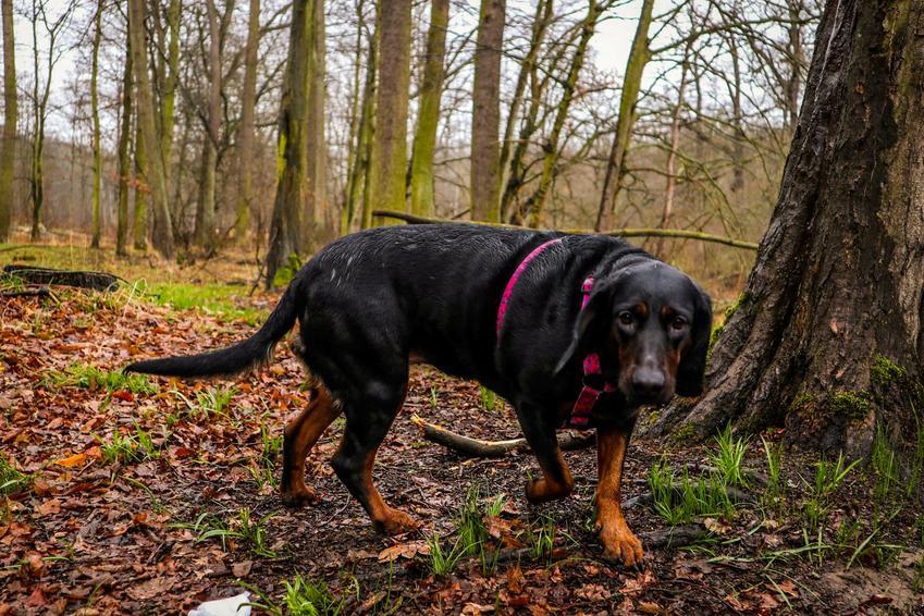 Pies rasy polski pies gończy podczas spaceru w lesie, a takżecharakter gończego polskiego i hodowla