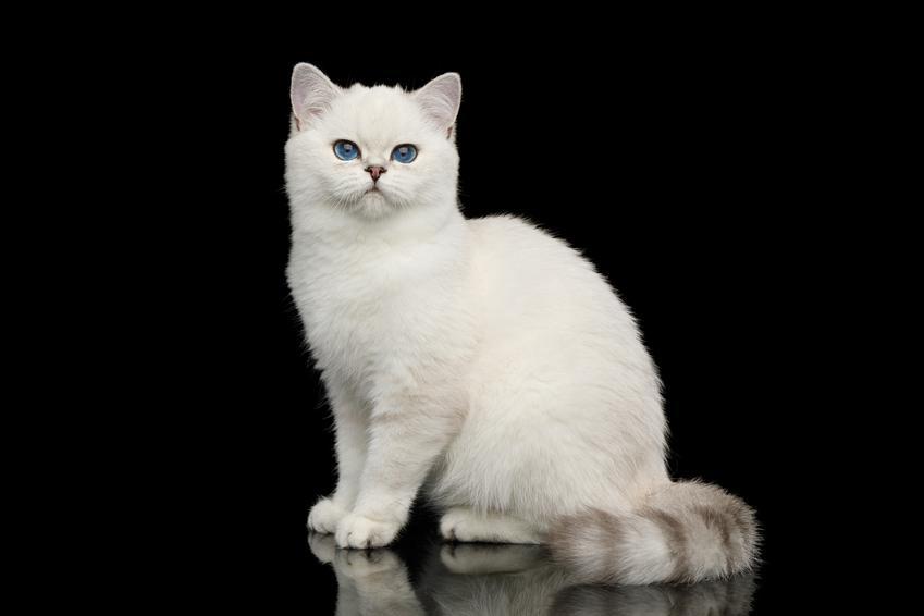 Biały kot brytyjski na czarnym tle, a także jego charakter, cena, hodowla i wychowanie