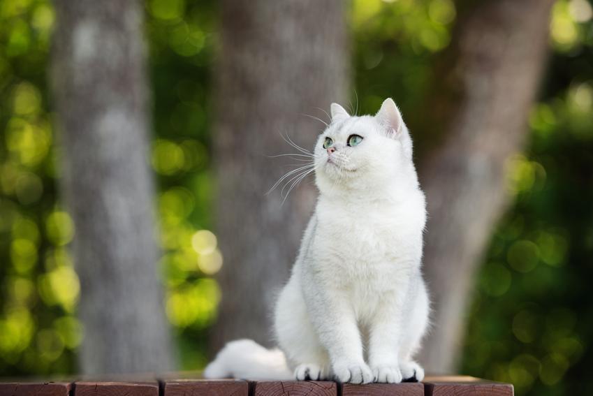 Biały kot brytyjski na tle zieleni, a także jego charakter, cena, hodowla i wychowanie