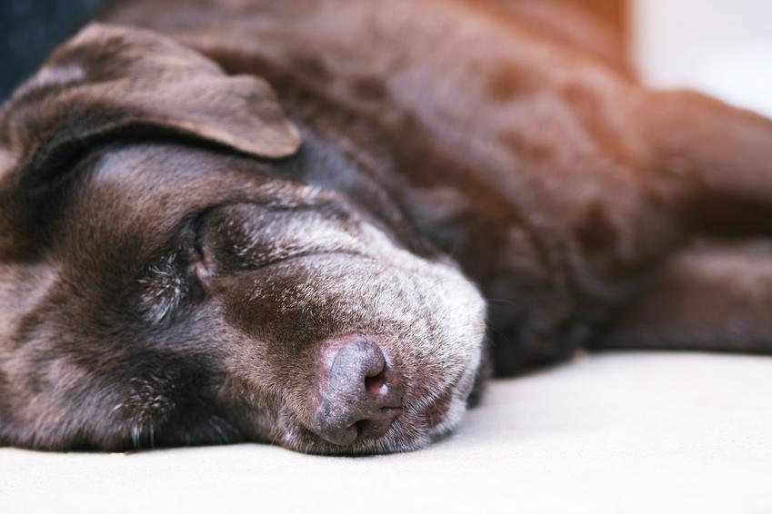 Chory pies leżący na podłodze, a także katar u psa, objawy, domowe sposoby i leczenie