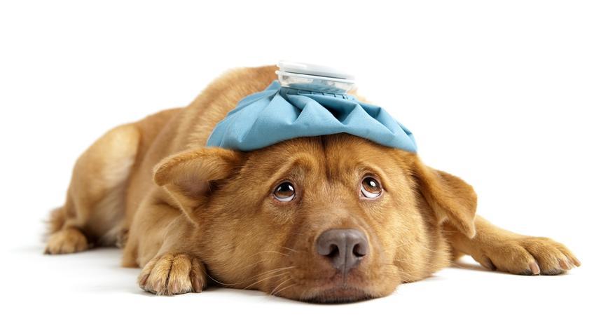 Chory pies z termoforem na podłodze, a także katar u psa, przyczyny i domowe sposoby na leczenie