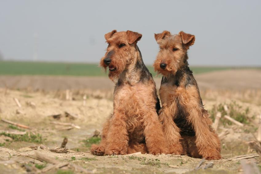 Dwa psy rasy terier walijski na łonie natury, a także charkter, szczeniaki i cena