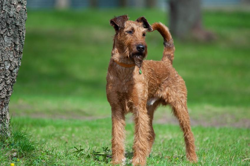 Pies rasy terier irlandzki z profilu na trawniku, a także jego usposobienie, wychowanie i cena