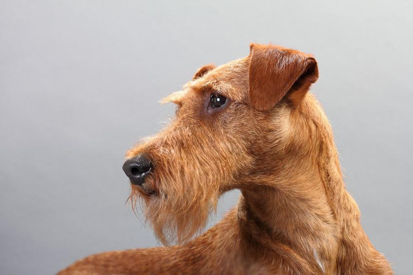 Pies rasy terier irlandzki na szarym tle, a także jego charakter, wychowanie, hodowla i cena