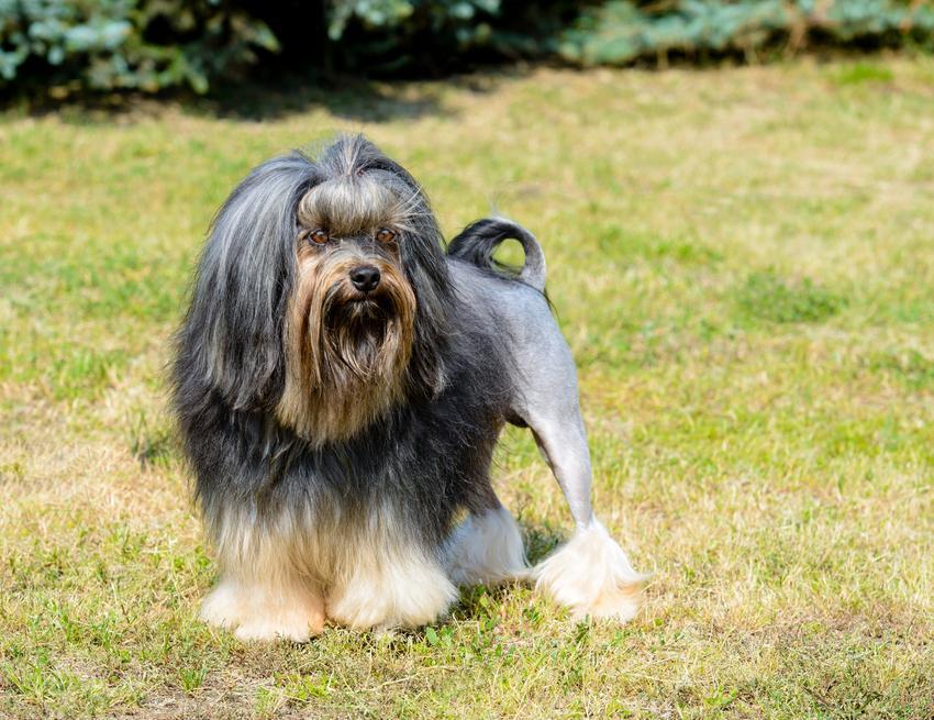 Pies rasy lwi piesek, lowchen na tle zieleni, a także jego charakter, wychowanie, hodowla i cena