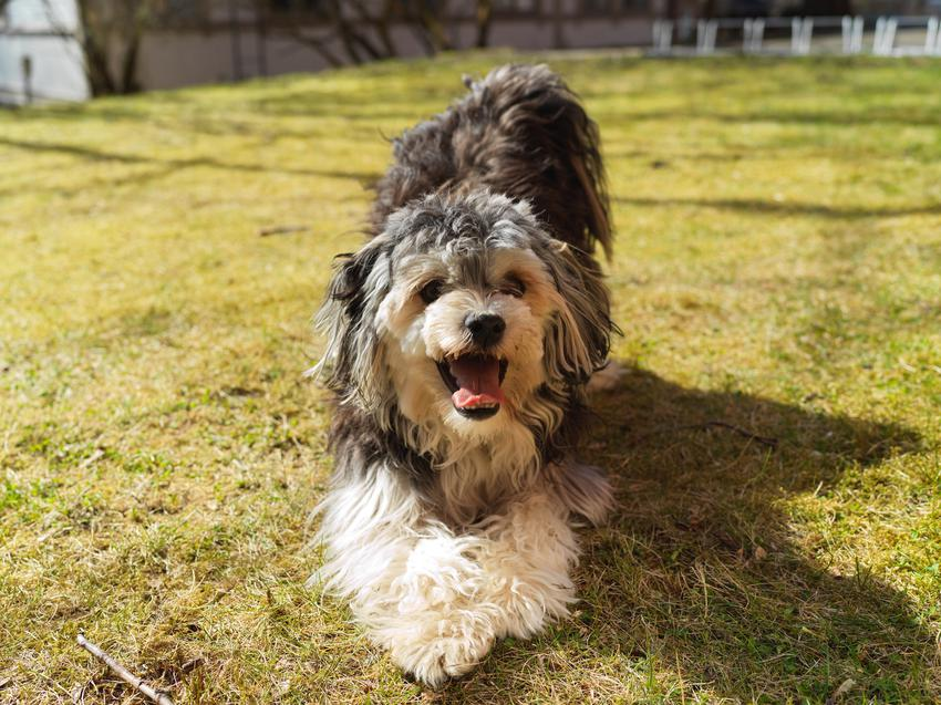 Pies rasy lwi piesek, lowchen na trawniku, a także jego usposobienie, wychowanie i cena