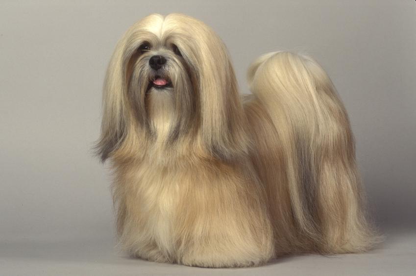 Pies rasy lhasa apso na szarym tle, a także jego charakter, wychowanie, hodowla i cena