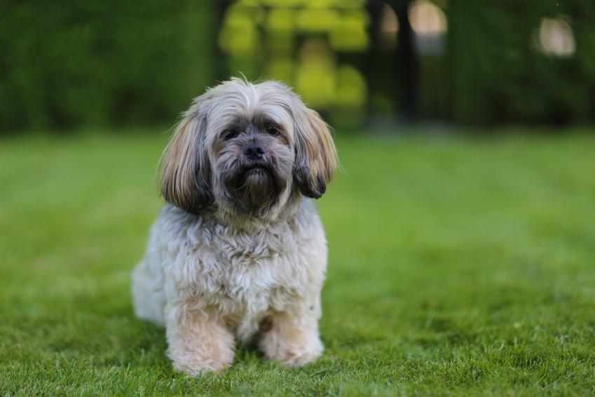 Pies rasy lhasa apso na trawniku, a także jego usposobienie, wychowanie i cena