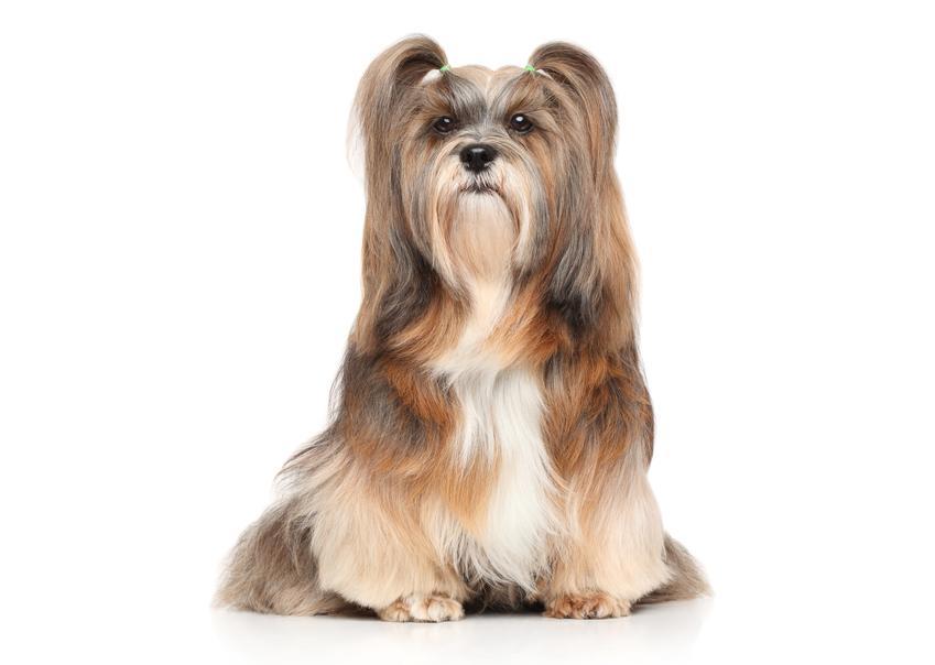 Dwa psy rasy lhasa apso na białym tle, a także charkter, szczeniaki i cena