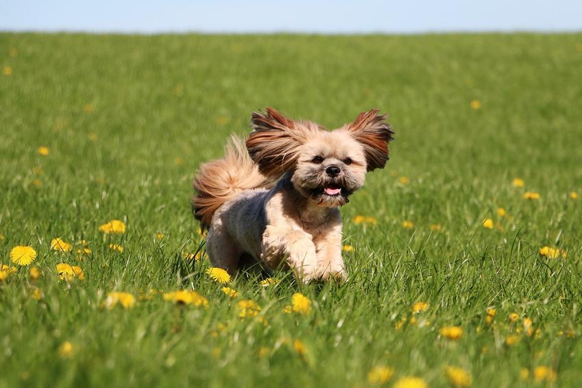 Pies rasy lhasa apso na trawniku, a także usposobienie lhasa apso, wychowanie i cena