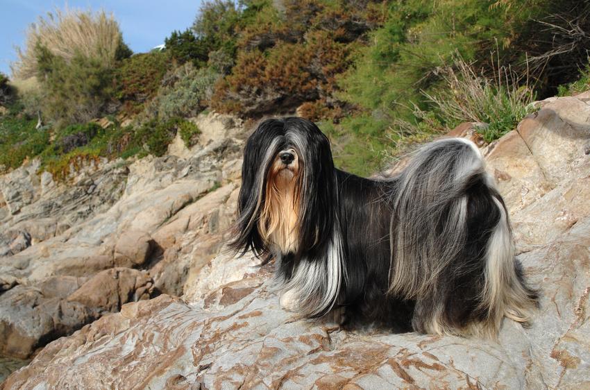 Pies rasy lhasa apso na łonie natury, a także usposobienie lhasa apso, charakter, wychowanie, hodowla i cena