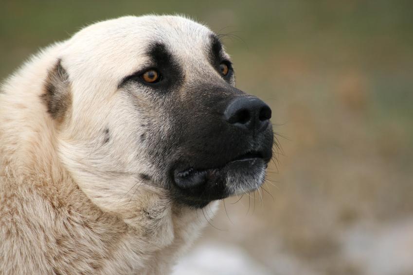 Pies rasy kangal na tle zieleni, a także jego charakter, wychowanie, hodowla i cena