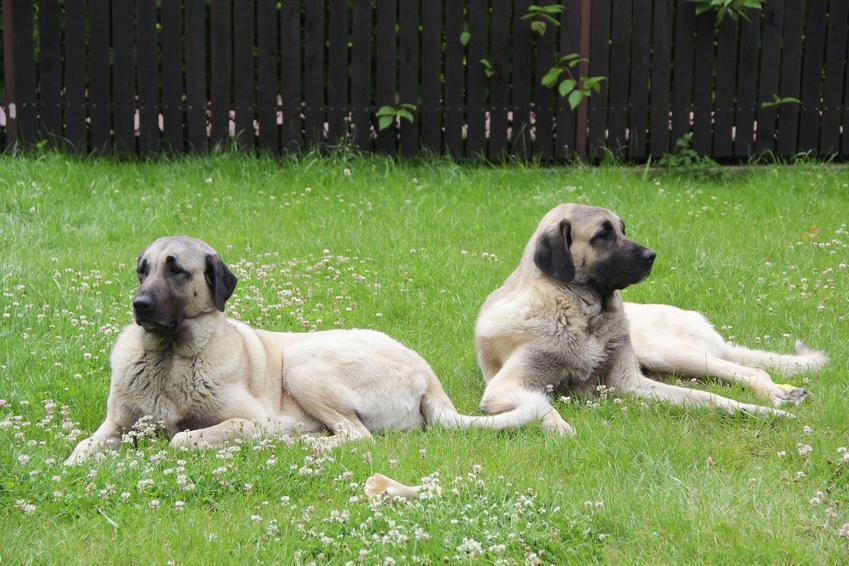 Dwa psy rasy kangal na łonie natury, a także charkter, szczeniaki i cena