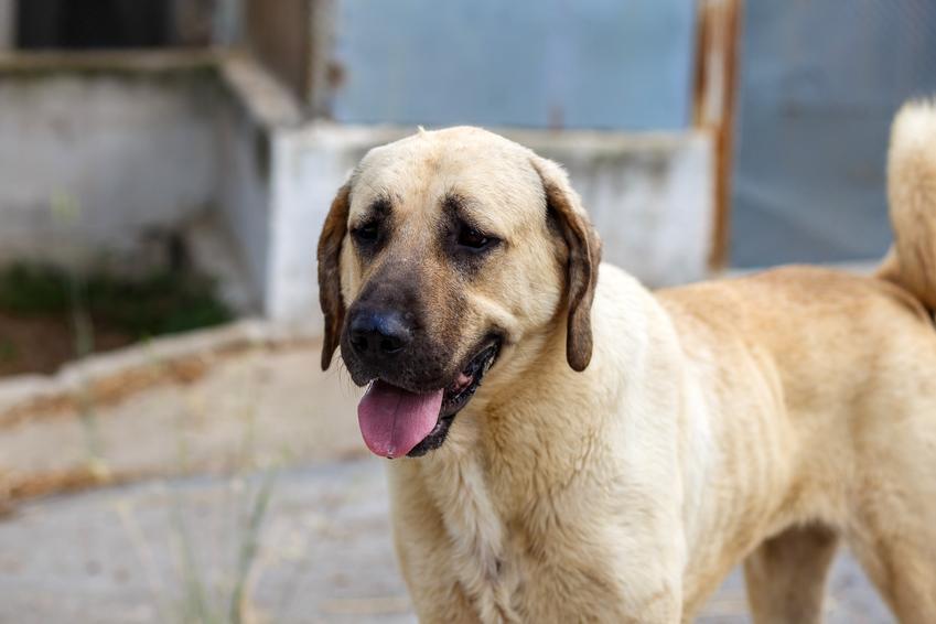 Pies rasy kangal turecki na portrecie, a także jego charakter, wychowanie, hodowla i cena