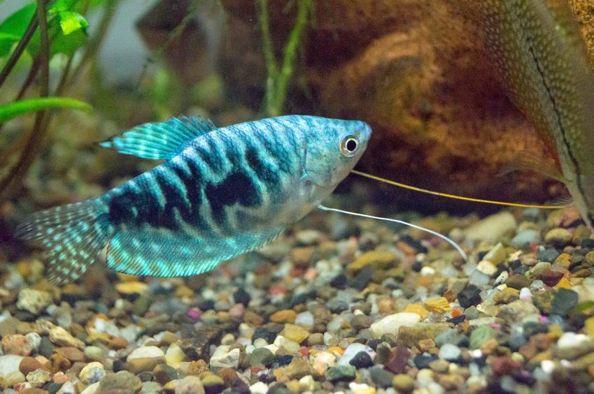 Rybka gurami marmurkowe w akwarium, a także jej wymagania i hodowla