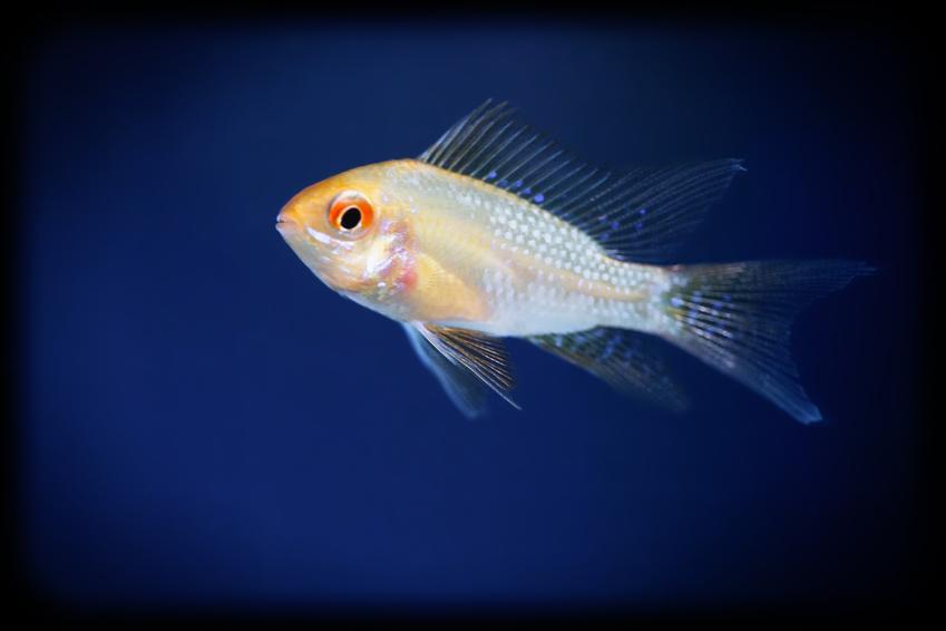 Ryba akwariowa gurami złote na tle roślin, a także jej wymagania i hodowla
