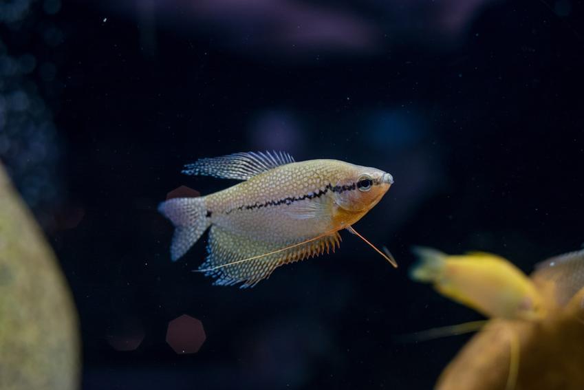 Ryba akwariowa gurami dwuplamisty na ciemnym tle, a także jej wymagania i hodowla
