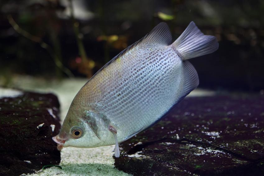 Ryba akwariowa gurami całujący, Pogostemon erectus na tle kamieni, a także jej wymagania i hodowla