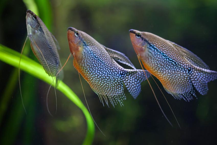 Ryby akwariowe gurami w akwarium, a także gatunki gurami, ich wymagania i cena