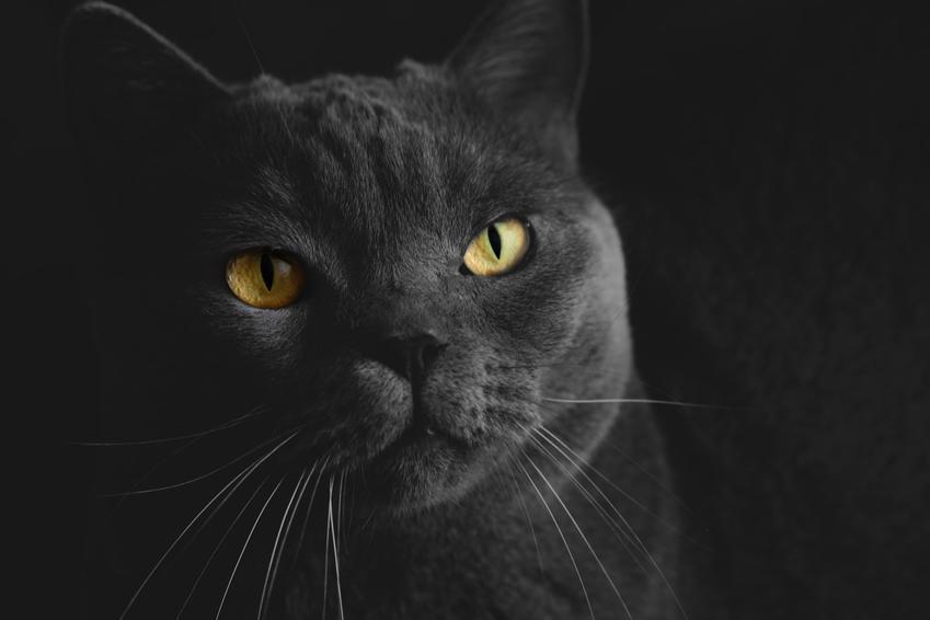 Czarny kot brytyjski na czarnym tle oraz cena czarnego kota brytyjskiego