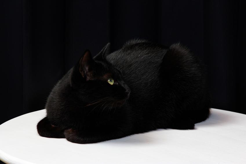 Czarny kot brytyjski, czyli czarny brytyjczyk i cena czarnego kota brytyjskiego