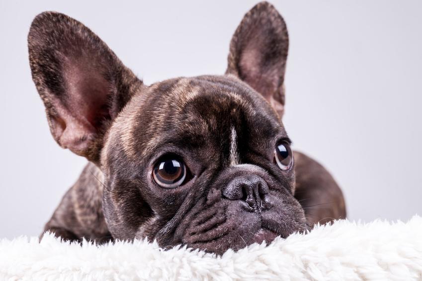 Pies rasy bokser francuski, czyli właściwie buldog francuski, a także jego charakter i cena