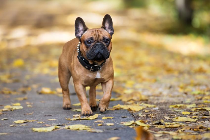 Pies rasy bokser francuski, a dokładniej buldog francuski podczas spaceru oraz jego charakter