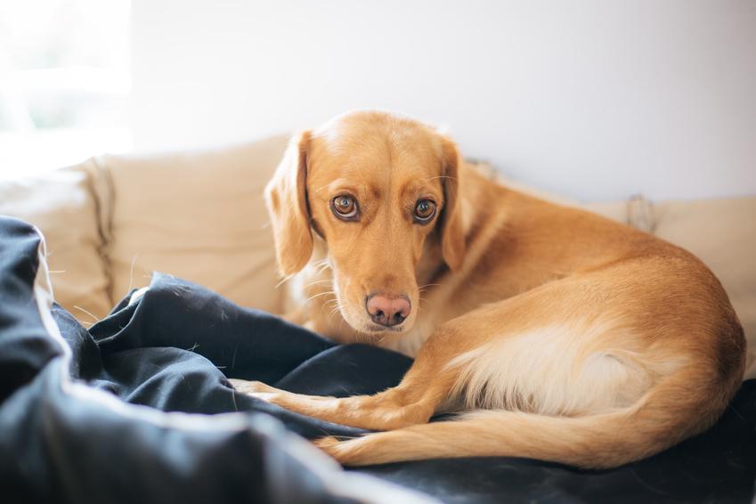 Pies w domu chory po zabiegu, a także dysplazja stawu biodrowego, dysplazja u psa i objawy
