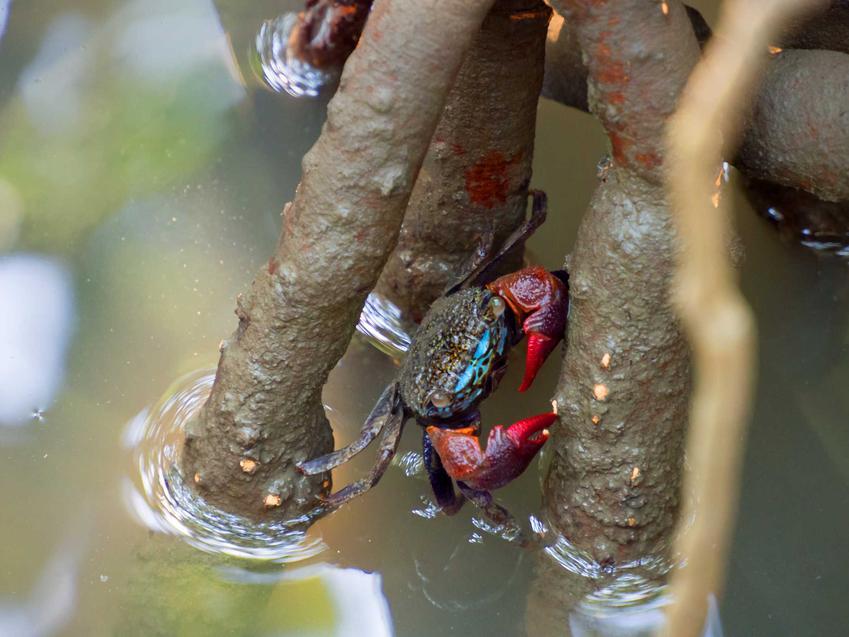 Krab mangrowy, Sesarma mederi na białym tle, a także jego wymagania w akwarium i porady hodowlane