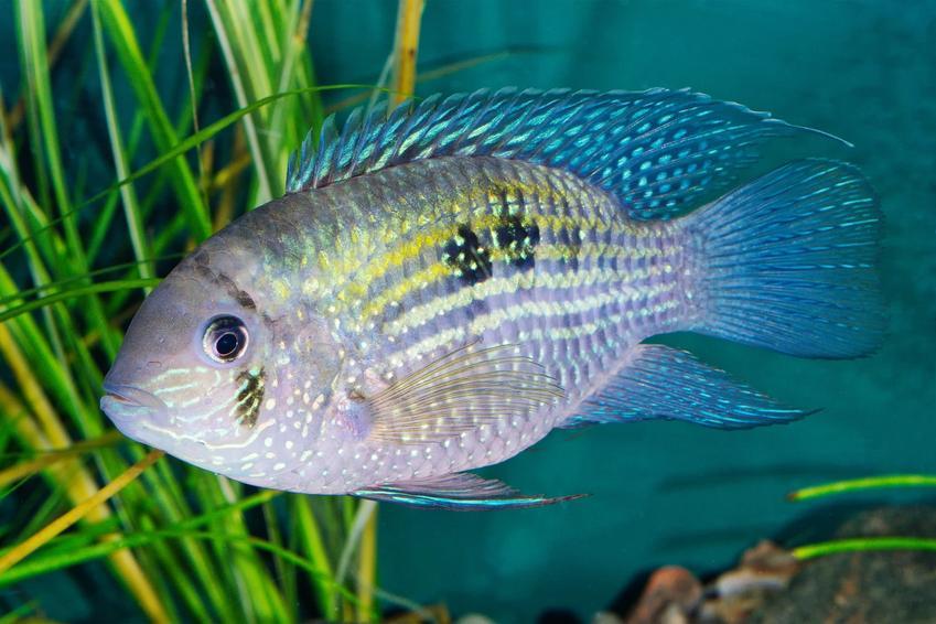 Ryba akara błękitna, Andinoacara pulcher w akwarium, a także jej wymagania i temperatura wody