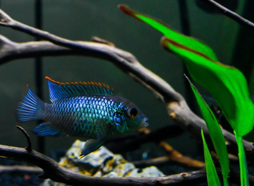 Akara błękitna, Andinoacara pulcher w akwarium, a także jej wymagania, rozmnażanie i hodowla