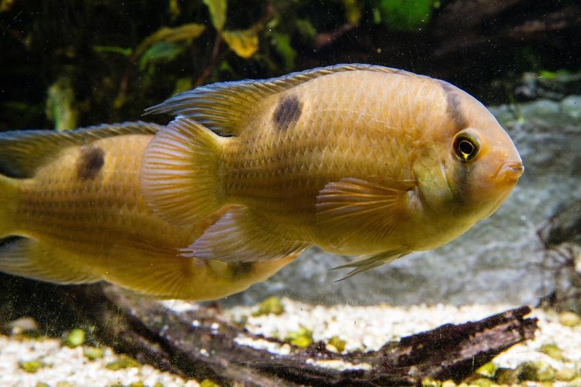 Ryba akara z maroni, cleithracara maronii w akwarium, a także jej wymagania i temperatura wody