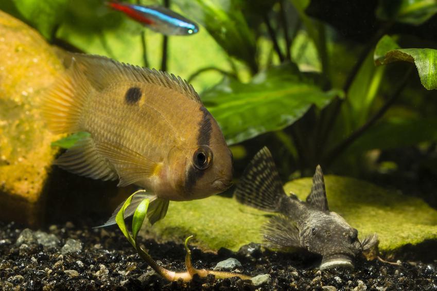 Akara z maroni, cleithracara maronii w akwarium, a także jej wymagania, rozmnażanie i hodowla