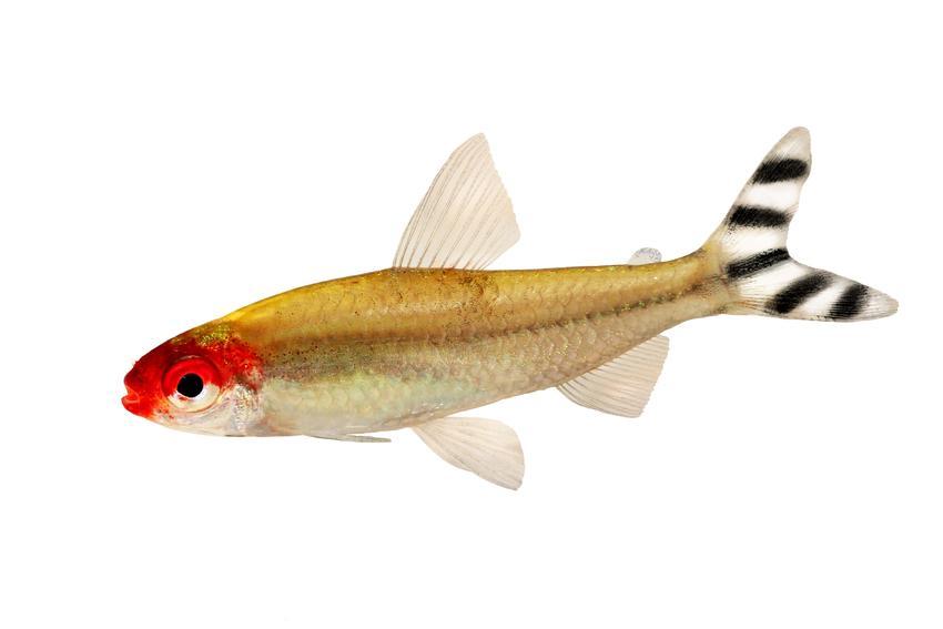 Zwinnik blehera, hemigrammus bleheri w akwarium, a także jej wymagania, rozmnażanie i hodowla